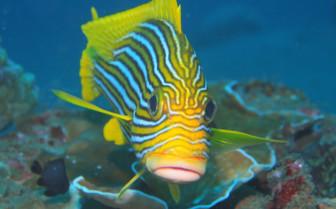 Picture of sweetlip Tubbataha reef