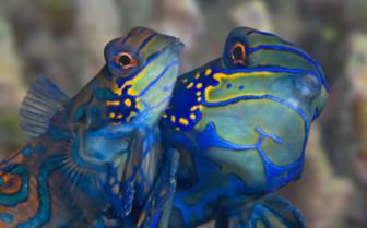 Picture of mandarinfish Moalboal