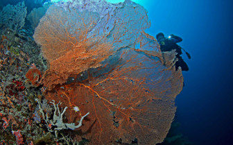 Picture of sea fan Moalboal