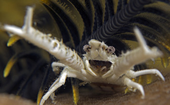 Picture of squat lobster Moalboal