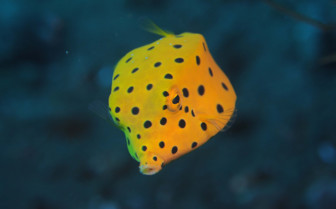 Picture of Juvenile boxfish Puerto Galera