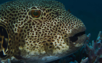 Picture of Puffer fish Puerto Galera