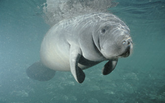 Picture of a manatee in Belize