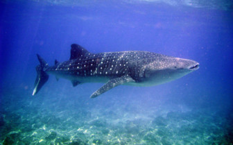 Picture of a whale shark in Belize