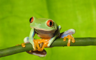 Picture of a green frog in Costa Rica