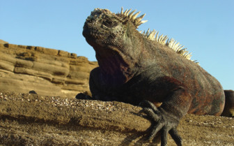 Picture of an iguana in the Galapagos