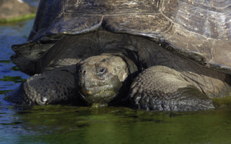 Picture of a tortoise in the Galapagos
