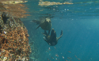 Picture of sea lions swimming in the Galapagos