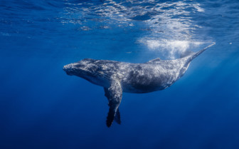 Picture of a humpback whale in Africa