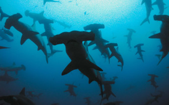 Picture of Hammerhead school in the Galapagos