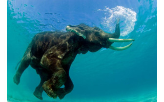 Picture of a Swimming elephant in the Andaman Islands
