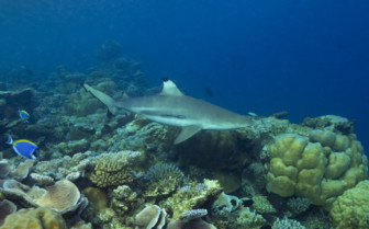 Picture of a Blacktip reef shark in the Maldives