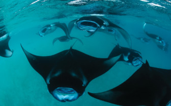 Picture of manta rays in the Maldives