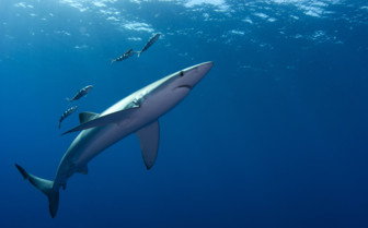 Blue shark in the Azores
