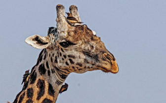 Giraffe close up in Zambia