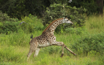 Skipping giraffe