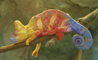 Colourful Chameleon, Madagascar