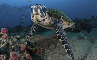Hawksbill Turtle, Mozambique