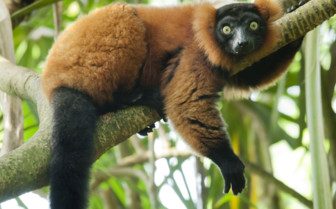 Red Vari Lemur