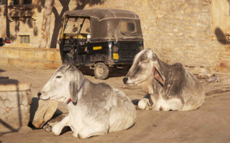 Cows snoozing by tuktuk