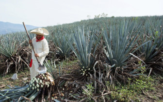 Agave Farmer in Jalisco, Mexico