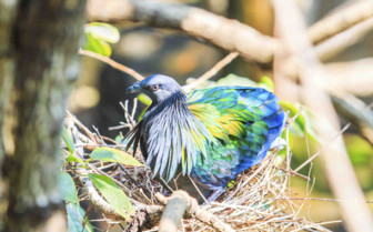 An Andaman pigeon
