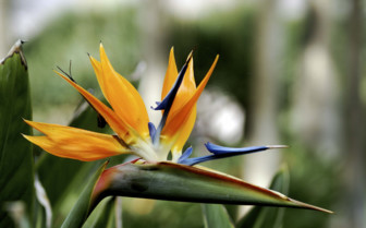 Birds of Paradise Flowers in Tenerife
