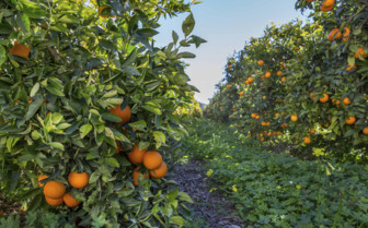 A Spanish Citrus Grove