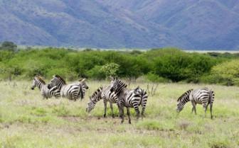 Zebras Roaming in Arba Minch