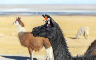 Llama in the Atacama