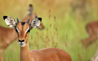 Impala staring