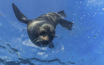 Seal Swimming