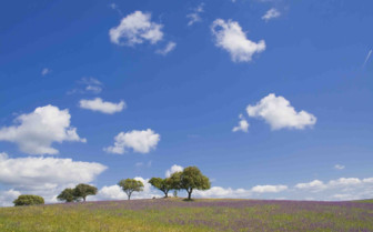 Trees in Lavender Fields