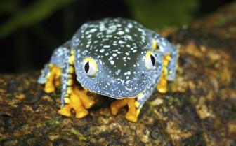 A Green Leaf Frog