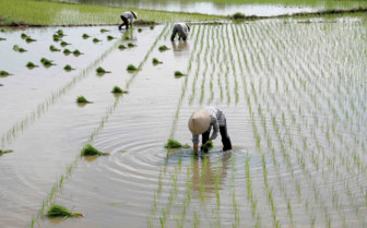 Paddyfield Workers