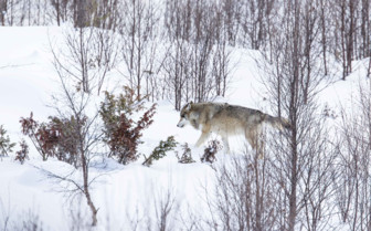 A Wolf Tracking through the Snow