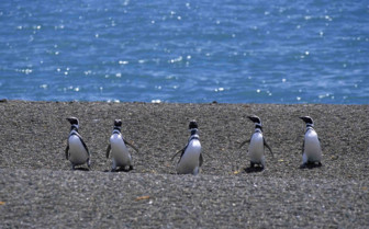 Waddling Penguins up a beach