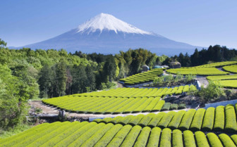Mount Fuji and Tea fields