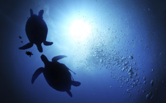 Silhouettes of Turtles Floating