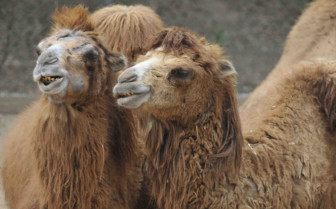 Two Camels Sitting