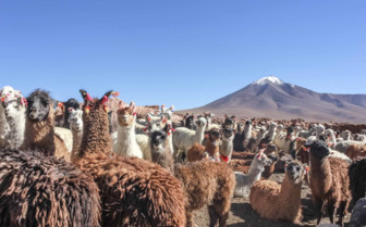 Alpacas in Bolivia