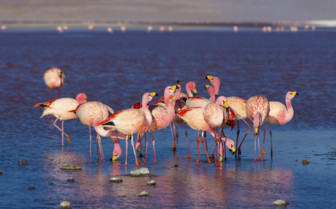 A Cluster of Pink Flamingoes