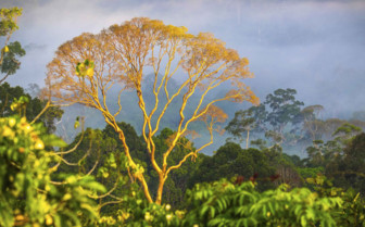 Golden Tree Emerging from the Jungle