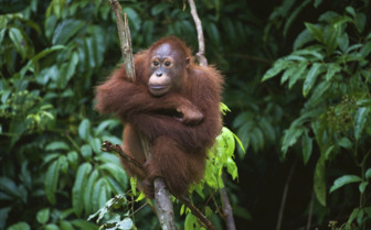 Orangutan with Crossed-Arms