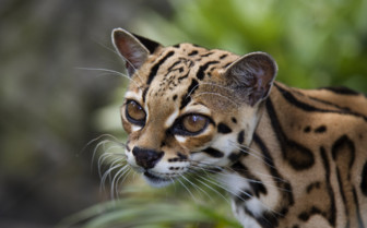 Wild cat in Central America