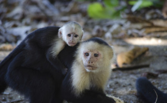 White faced monkey and baby