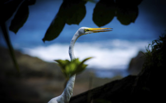 Heron in Corcovado National Park