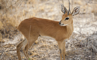 Baby antelope in Southwest Africa