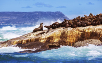 Seals at the coast of Namibia in Africa