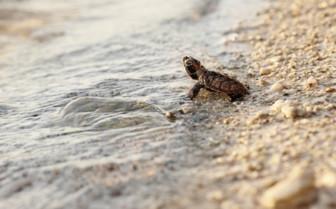 Turtle Hatchling, Seychelles